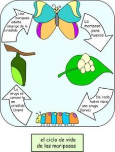 life cycle mariposa