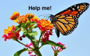monarch-butterflies-01-help.jpg.662x0_q70_crop-scale